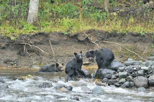 川で争うヒグマの兄弟(北海道・知床)の写真素材 [FYI04925852]