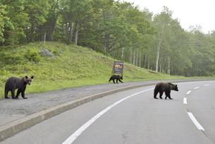 道路を横断するヒグマ(北海道・知床)の写真素材 [FYI04925860]