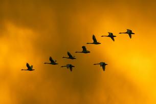夕陽の中を飛翔するコハクチョウの群れの写真素材 [FYI04925876]