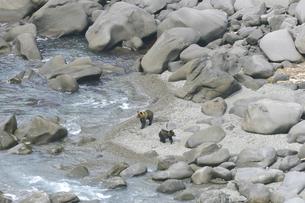 海岸に現れたヒグマの兄弟(北海道・知床)の写真素材 [FYI04925877]