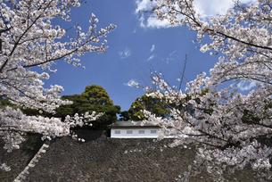 皇居 乾通りの桜の写真素材 [FYI04925945]