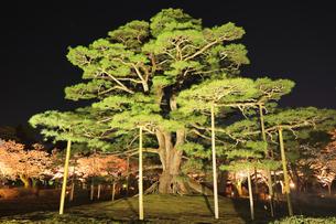 北陸金沢 兼六園の根上松と夜桜 春の段の写真素材 [FYI04925965]