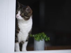 窓辺の猫の写真素材 [FYI04925998]