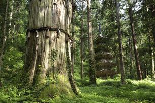 羽黒山 爺杉と五重塔の写真素材 [FYI04926894]