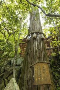 夏の三滝寺、天狗杉(広島県広島市)の写真素材 [FYI04927122]