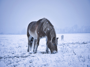 冬の道産子の写真素材 [FYI04927209]