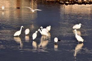 武庫川河川敷にコサギの飛来の写真素材 [FYI04927259]