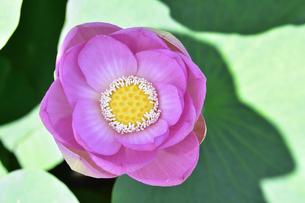 千葉公園に咲く大賀ハス(オオガハス)のピンク色の花(古代のハスの実から発芽・開花したハス(古代ハス)と葉の写真素材 [FYI04927669]
