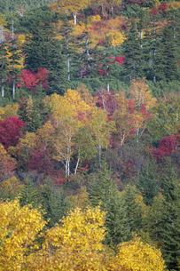 カラフルに色づいた秋の高山の林の写真素材 [FYI04928112]