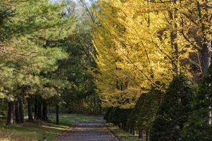 黄葉の銀杏がある秋の公園の写真素材 [FYI04928119]