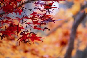 赤く色づいたモミジの葉の写真素材 [FYI04928123]