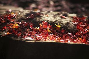 木漏れ日に輝くモミジの赤い落葉の写真素材 [FYI04928161]