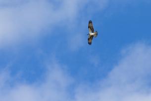 ミサゴの飛翔の写真素材 [FYI04928211]