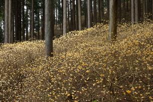4月 春を呼ぶミツマタの写真素材 [FYI04928278]