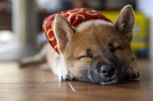 柴犬のお昼寝の写真素材 [FYI04928283]