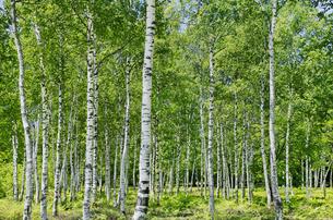 白樺林の写真素材 [FYI04928535]