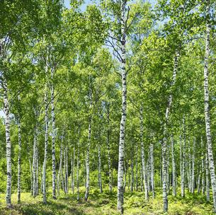 白樺林の写真素材 [FYI04928536]