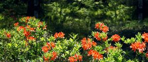 木陰に咲くレンゲツツジの写真素材 [FYI04928537]