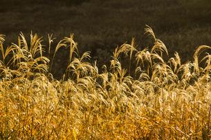 朝の日差しで黄金色に輝くススキの草原の写真素材 [FYI04928615]