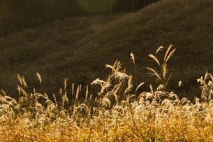 朝の日差しで黄金色に輝くススキの草原の写真素材 [FYI04928617]