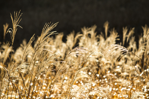 朝の日差しで黄金色に輝くススキの草原の写真素材 [FYI04928619]