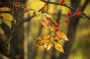 黄葉したナナカマドの葉のクローズアップ写真の写真素材 [FYI04928622]