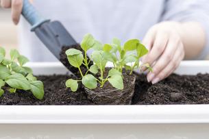 苗を植える手の写真素材 [FYI04928720]