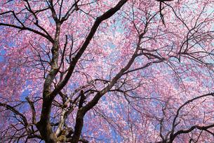4月 清雲寺の枝垂れ桜の写真素材 [FYI04928758]