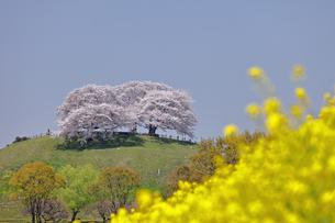4月 さきたま古墳公園の桜の写真素材 [FYI04928759]