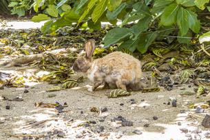 嘉弥真島に住む野生のウサギの写真素材 [FYI04928892]