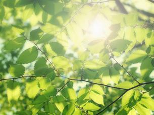 新緑と光の写真素材 [FYI04929027]