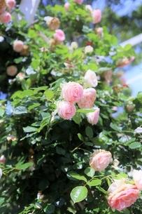 アプリコット ピンクのフレンチ ローズ(ピエール・ドゥ・ロンサール)の写真素材 [FYI04929029]