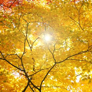光に映える黄金色のカエデの写真素材 [FYI04929162]