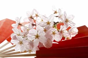 扇子と桜の花の写真素材 [FYI04929229]