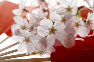 扇子と桜の花の写真素材 [FYI04929259]