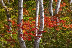 一の瀬園地 ヤマウルシの紅葉の写真素材 [FYI04929287]