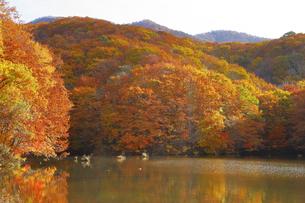 曲沢沼の紅葉の写真素材 [FYI04929443]