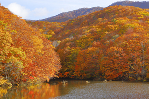 曲沢沼の紅葉の写真素材 [FYI04929445]