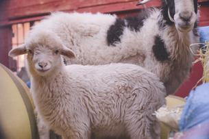 モロッコ ティネリール近郊トドラ渓谷の羊の写真素材 [FYI04929469]