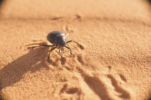 モロッコ メルズーガ サハラ砂漠のフンコロガシの写真素材 [FYI04929516]
