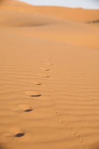 モロッコ メルズーガ サハラ砂漠のフンコロガシとコヨーテの足跡の写真素材 [FYI04929518]