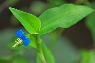 ツユクサ(ツユクサ科ツユクサ属)の小さな青い花と葉の写真素材 [FYI04929651]