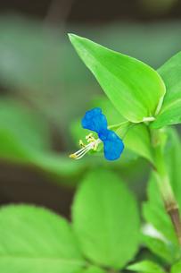 ツユクサ(ツユクサ科ツユクサ属)の小さな青い花と葉の写真素材 [FYI04929652]
