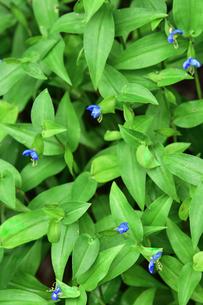ツユクサ(ツユクサ科ツユクサ属)の小さな青い花の写真素材 [FYI04929657]