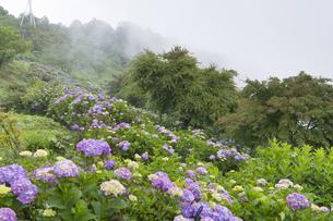 美の山公園のアジサイの写真素材 [FYI04929688]