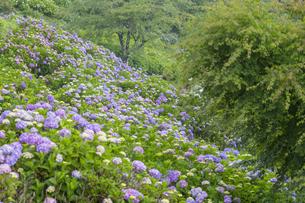 美の山公園のアジサイの写真素材 [FYI04929696]