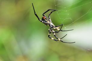 クモの糸とコガネグモ(クモ目コガネグモ科)の写真素材 [FYI04930018]