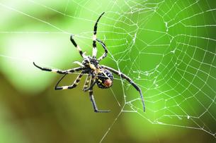 お尻からクモの糸を出すコガネグモ(クモ目コガネグモ科)の写真素材 [FYI04930019]