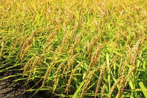 【農業】稲の穂が実っている風景 米の写真素材 [FYI04930030]