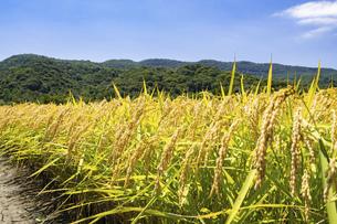 【農業】稲の穂が実っている風景 米の写真素材 [FYI04930035]